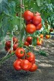 Reife Tomate des Wachstums lizenzfreies stockbild