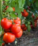 Reife Tomate des Wachstums stockfoto