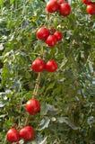 Reife Tomaten Stockfoto
