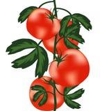 Reife Tomaten auf Busch Stockfotografie