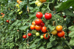Reife Tomaten betriebsbereit auszuwählen Lizenzfreie Stockfotografie