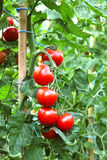 Reife Tomaten betriebsbereit auszuwählen Stockfoto
