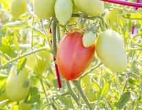 Reife Tomaten der Rebe Lizenzfreie Stockfotografie