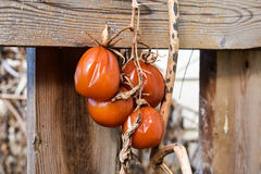 Reife Tomaten-Rebe Lizenzfreie Stockbilder