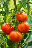 Reife Tomatengruppe im Gewächshaus Stockfotos