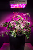 Reife Tomatenpflanze unter LED wachsen Licht Stockbilder