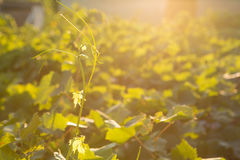 Reife Trauben in einem alten Weinberg im Toskana-Weinanbaubereich, Italien Stockfotografie