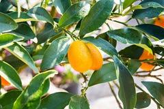 Reife und frische Orangen Lizenzfreies Stockbild