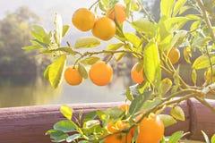 Reife und frische Orangen Lizenzfreies Stockfoto