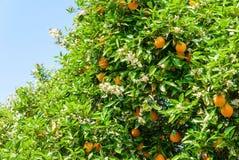 Reife und frische Orangen auf Baum Lizenzfreies Stockfoto
