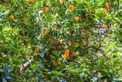 Reife und frische Orangen auf Baum Stockbilder