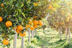 Reife und frische Orangen auf Niederlassung Stockfotos
