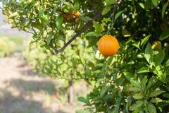 Reife und frische Orangen, die an der Niederlassung, orange Obstgarten in der Türkei hängen Lizenzfreies Stockfoto