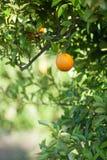 Reife und frische Orangen, die an der Niederlassung, orange Obstgarten in der Türkei hängen Lizenzfreie Stockfotografie