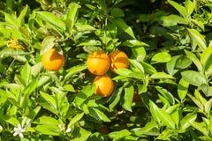 Reife und frische Orangen, die an der Niederlassung, orange Obstgarten in der Türkei hängen Stockfotos