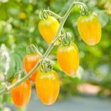 Reife und frische Tomaten auf dem Baum Stockfotografie
