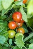 Reife und Traubentraubentomaten auf Bush sind klein stockfotografie