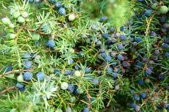 Reife und unausgereifte Kegelbeeren von Juniperus communis (allgemeines junipe lizenzfreie stockbilder