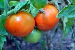 Reife und unausgereifte Tomaten im Garten Lizenzfreie Stockbilder
