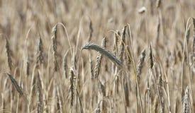 Reife Weizenähren Stockbilder