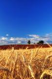 Reife Weizen-Ohren Stockbild