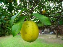 Reife Zitrone, die an seinem Baum hängt Stockbilder