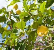 Reife Zitronen auf Zitronenbaum lizenzfreie stockfotos