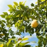 Reife Zitronen auf Zitronenbaum stockbild