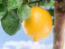 Reife Zitronenfrucht auf einem Baum Hintergrund des blauen Himmels Stockbild
