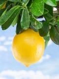 Reife Zitronenfrucht auf einem Baum Hintergrund des blauen Himmels Stockfotografie
