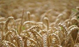 Reifen des Weizens Stockfoto