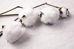 Reifen Sie Baumwollfrucht Lizenzfreie Stockfotos
