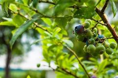 Reifen Sie Blaubeeren auf den Buschniederlassungen nach Regen Lizenzfreie Stockbilder