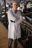 Reifen Sie den Veterinärtechniker, der mit Kühen im Bauernhof arbeitet Stockfotos
