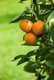 Reifen Sie saftige Orange auf Zweig Stockbilder