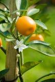 Reifen Sie saftige Orange auf Zweig Stockfoto