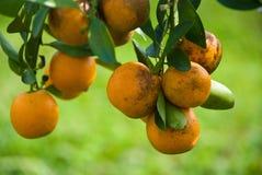 Reifen Sie saftige Orange auf Zweig Stockfotos