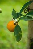 Reifen Sie saftige Orange auf Zweig Lizenzfreie Stockbilder