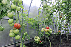 Reifen von grünen und roten Tomaten Lizenzfreie Stockfotos