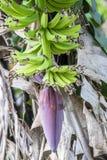Reifende Banane trägt mit rosa bllom auf Bananenstaude Früchte Lizenzfreies Stockfoto