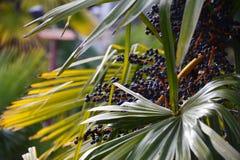 Reifende dunkelblaue Früchte auf der Palme lizenzfreie stockbilder
