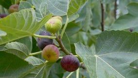 Reifende Früchte von Feigen auf dem Baum stock footage