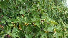 Reifende Früchte von Feigen auf dem Baum stock video