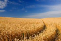 Reifende goldene Ohren des Weizens auf dem Gebiet unter blauem Himmel Stockbilder