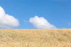 Reifende goldene Sommerweizenfeld-Skylineansicht mit dem blauen Himmel Stockfoto