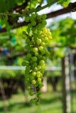 Reifende grüne Traube Stockbilder