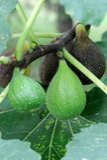 Reifende italienische Feigen ((Ficus Carica) Stockfoto
