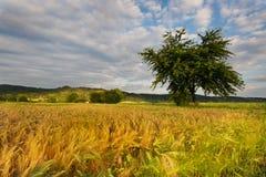 Reifende Kornfelder und -baum Lizenzfreie Stockfotografie