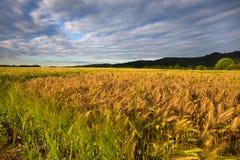 Reifende Kornfelder und dichte Wolken Stockbild