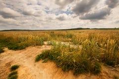 Reifende Kornfelder und dichte Wolken Stockfoto